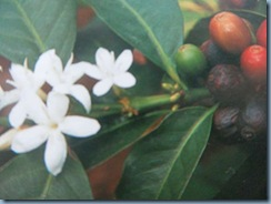Kaffeebohnenblüte