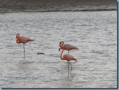 19 Flamingos